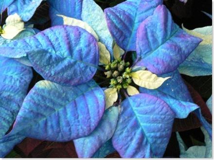 Blue Poinsettia 640