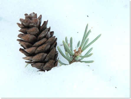 Cone and pine
