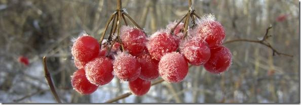 frost_on_red_berries(web)