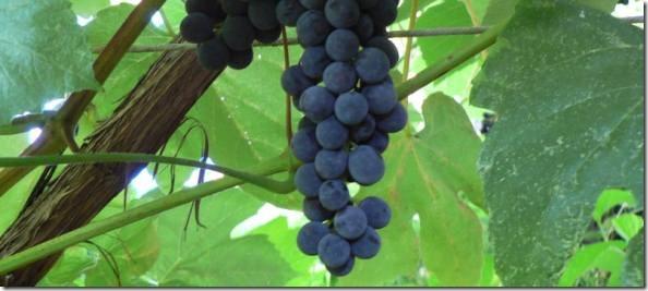 grapeskelowna