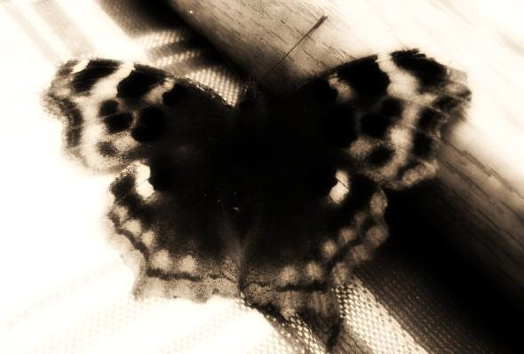 greybutterfly