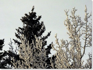 hoarfrost and evergreen640