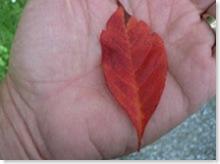 leafinhand