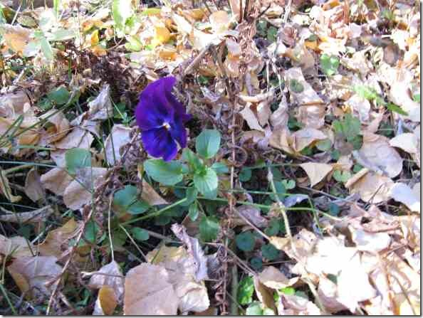 purple_pansy