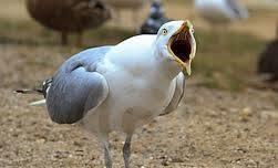 seagullscream