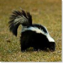 skunk200