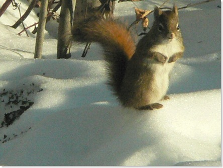 Squirrel on snow