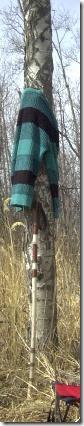walking stick and birch 2
