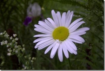 wild_daisy