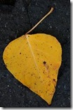 yellow leaf1