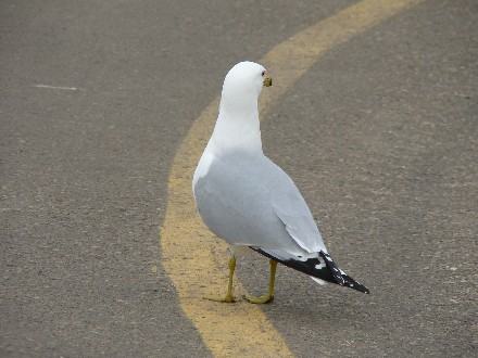 yellowlinegull